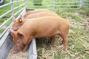 Dieta și normele de porci de hrănire