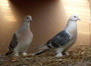 Ako kŕmiť rastliny holubieho trusu?