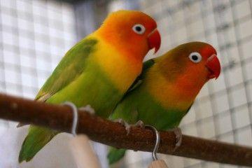 Papagáje, hrdličky
