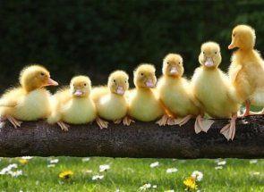 Ako priviesť kačica do inkubátora?
