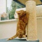 Cum de a obișnui pisica la post zgârierea