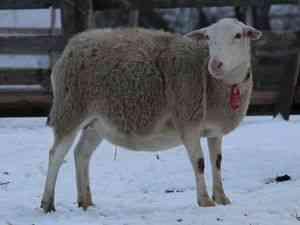Doro Frolovskaya rasa de oi cumpăra cumpăra