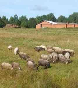 CUM crescute oi - oi - Cresterea animalelor - Proprietar