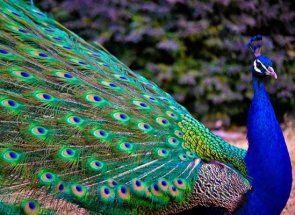 Ako k chovu u kráľovského vtáka - Peacock