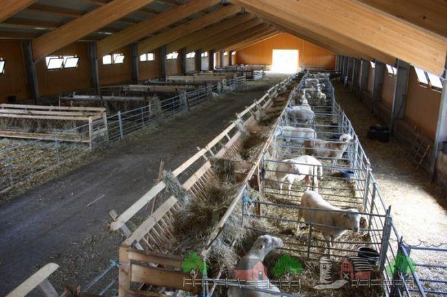 Stâna mare, o sută de oi