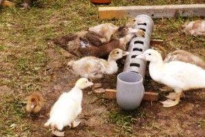 Ako vytvoriť dobré podávača kačica