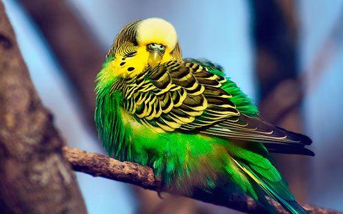 Ako vytvoriť papagája spoločník?
