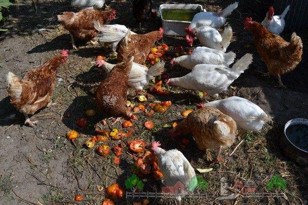 pui Hrănirea deșeuri fotografie