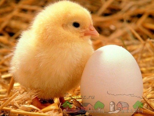 Ouă de pui in fotografie