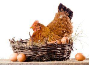 Ako urobiť kuracie sliepka: tajomstvo úspešných transformáciou