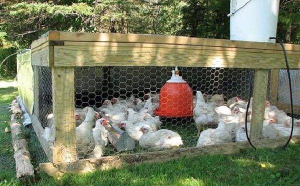 Versiunea de vară a conținutului găinilor
