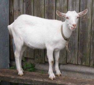 Ako vyzerajú a čo kŕmiť domáce koza?