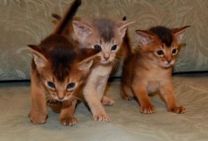 Ako si vybrať mačiatko habešský