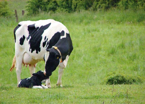 Holstein Burenka a teľa na lúke