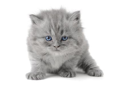 ako si vybrať mačiatko visiacimi ušami