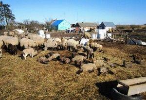 Ako vyliečiť infekčné ochorenie oviec - Brax