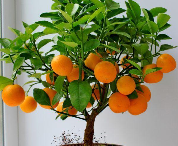Ako pestovať mandarínka strom dom z kameňa