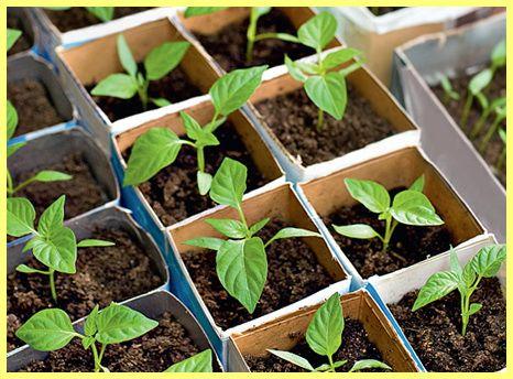 Ako pestovať sadenice paprika