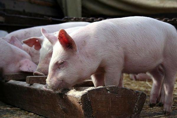 iesle din lemn pentru porci