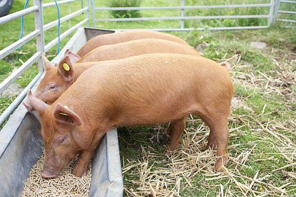 Alimentator pentru hrănirea porcilor tineri