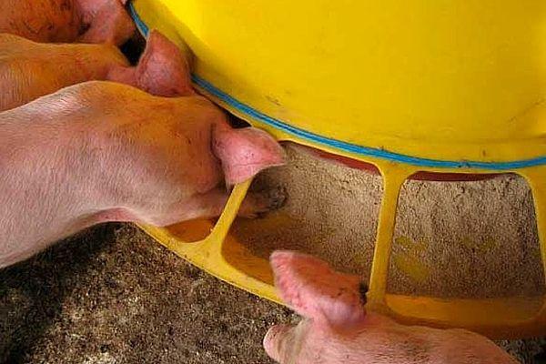 Hrănirea porcilor din dispozitivul automat
