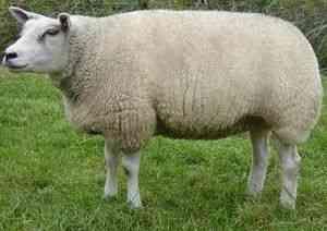 rase de ovine din carne. | Fermer.Ru - Fermer.Ru - agricultor senior ...