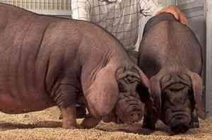 Duroc rasa de porci, porci rase de Duroc, porci Duroc, Duroc Jersey ...
