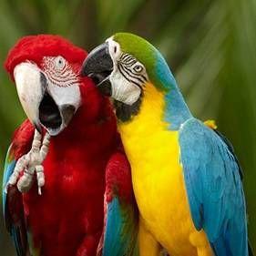 Aký papagáje hovoriť