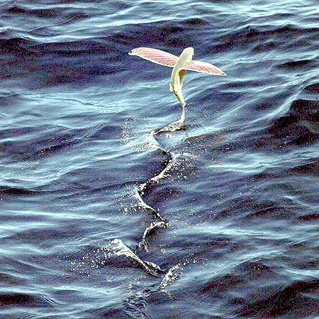 Покачващите се летящи риби