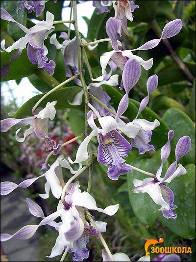 Орхидеи. Orchid Park наоколо. Бали. Фотография, цвете снимка