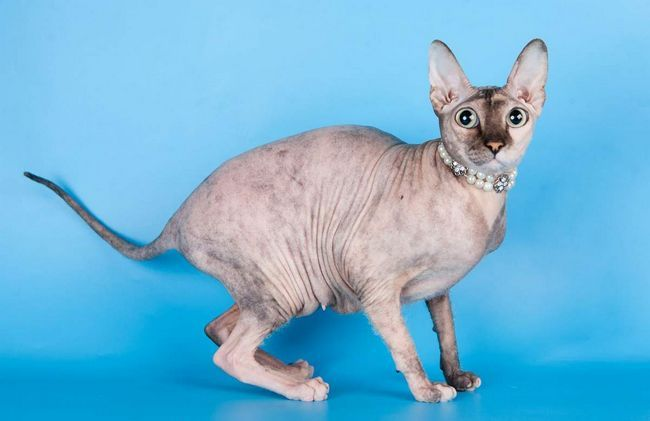 Cum sa faci o pisica pedigree?