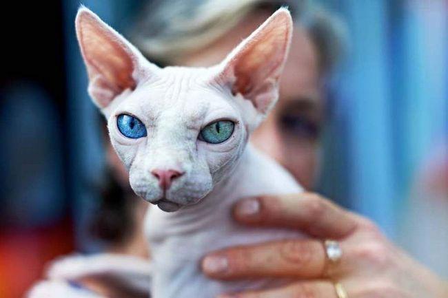 Cat este o reproducere necesară componentă pedigree și feline, în special, în ansamblul său.