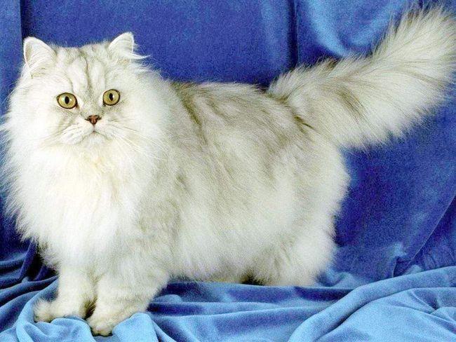 pisici de rasa: cum să nu fie confundate?
