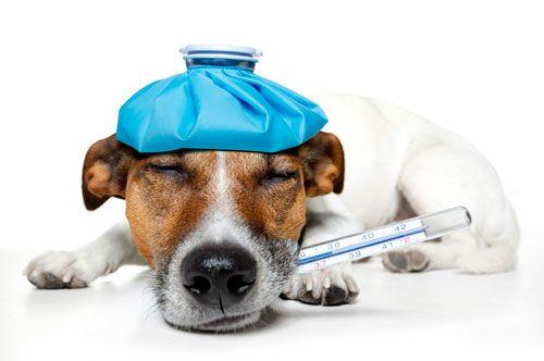 Aká by mala byť telesná teplota psov