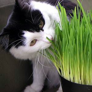 Kakav trave kao mačka