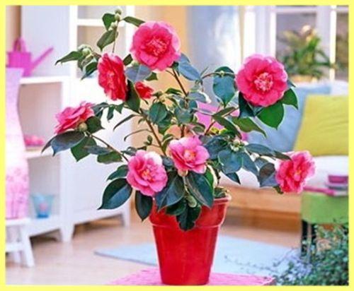 Kamelija vrt sadnju i njegu