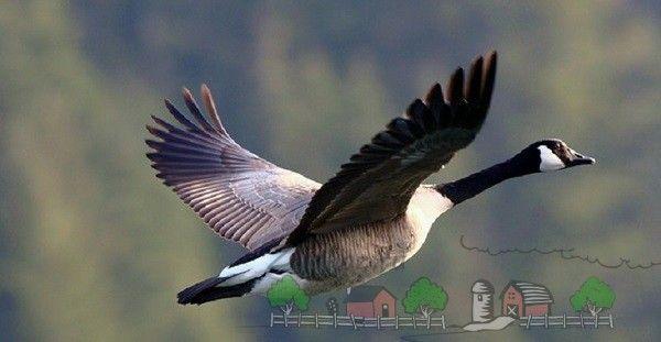 Canada Goose - creditare orice vânător trofeu