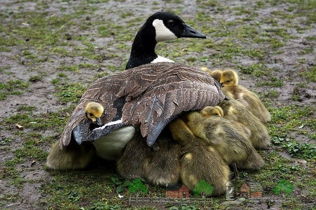Foto Canada Goose s Goslings