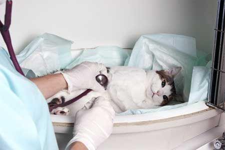 Кардиомиопатия при котките.