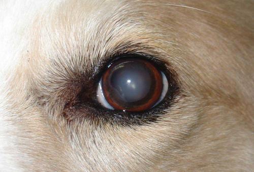 Šedý zákal u psov - príčiny, prevencia a dedičnosť