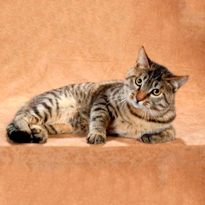 rase de pisici din China