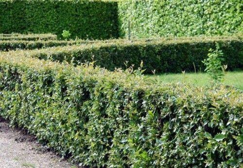 Cotoneaster sjajan sadnju i njegu: Foto & Video