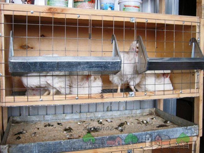 cușcă de pui de casa pentru o fotografie