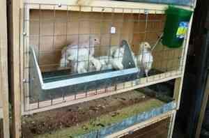 Colivii pentru puii de carne cu mâinile | Agricultura Monitorul