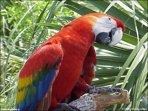 Red Macaw, arakanga, Ara Macao, ara Scarlet (Ara macao) Reklamné fotografie Bird image