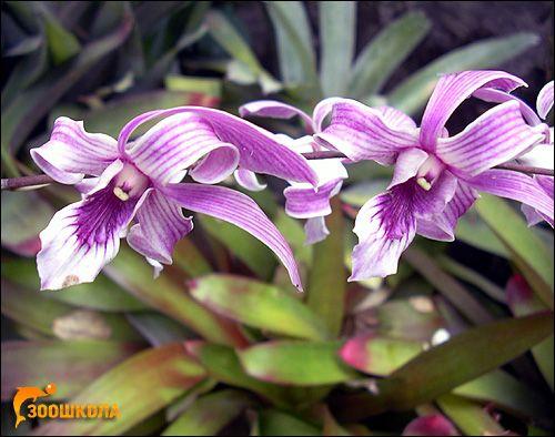 Орхидеи. Orchid Garden нататък. Бали. Снимки, снимки на цветя картина