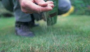 Kada saditi travnjak travu: u jesen ili proljeće