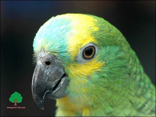 Amazon papagáj, vták foto obrázok foto