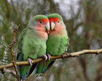 African Lovebird