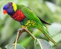 papagáj viacfarebný